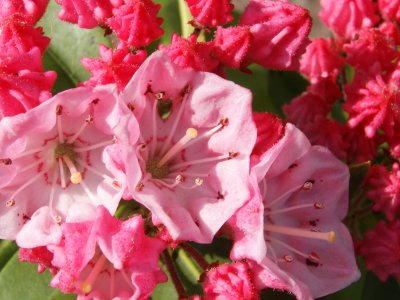 Rhododendron sphagnum